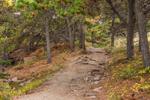 Ocean Path through Pitch Pine Trees off Ocean Drive, Acadia National Park, Mt Desert Island, Bar Harbor, ME