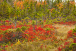 Red Huckleberry Bushes and Spruce Trees in Bog/Fen in Autumn, Wonderland Area, Acadia National Park, Mt Desert Island, Southwest Harbor, ME