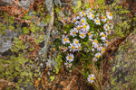 Wild Asters Growing in Lichen-covered Granite Boulders on Cadillac Mountain, Acadia National Park, Mt Desert Island, Bar Harbor, ME