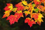 Close Up of Colorful Red Maple Leaves in Fall near Duck Brook, Acadia National Park, Mt Desert Island, Bar Harbor, ME