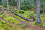 Moss-covered Forest Floor in Spruce Forest off Ocean Drive, Acadia National Park, Mt Desert Island, Bar Harbor, ME