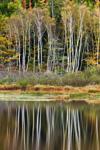 Birch Trees Reflecting in Beaver Dam Pond in Fall, Acadia National Park, Mt Desert Island, Bar Harbor, ME