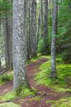 Path through Mosses in Forest along Little Harbor Brook, Harbor Brook Trail, Acadia National Park, Mt Desert Island, Mt Desert, ME