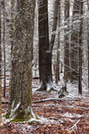 Dusting of Snow in Forest with Maple Trees, Berkshire Mountains, Hinsdale, MA