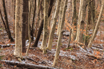 Yellow Birch Tree Trunks in Soft Evening Light, Berkshire Mountains, Hinsdale, MA