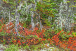 Red Leaves of Huckleberry Bushes, Spruce Trees with Old Man's Beard Lichen, and Pitch Pine Trees in Fall, Wonderland Trail, Acadia National Park, Mt Desert Island, Southwest Harbor, ME