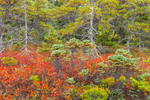 Red Leaves of Huckleberry Bushes, Spruce Trees, and Pitch Pine Trees in Fall, Wonderland Trail, Acadia National Park, Mt Desert Island, Southwest Harbor, ME