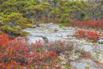 Red Leaves of Huckleberry Bushes, Lichens, and Pitch Pines among Boulders in Fall, Wonderland Trail, Acadia National Park, Mt Desert Island, Southwest Harbor, ME