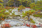 Huckleberry Bushes, Lichens, and Pitch Pine Trees on Rocks, Wonderland Trail, Acadia National Park, Mt Desert Island, Southwest Harbor, ME