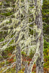 Close Up of Old Man's Beard Lichen on Spruce Trees, Wonderland Trail, Acadia National Park, Mt Desert Island, Southwest Harbor, ME