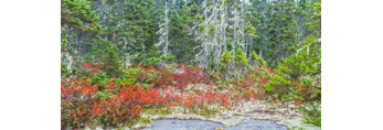 Red Leaves of Huckleberry Bushes and Spruce Trees with Old Man's Beard Lichen in Fall, Wonderland Trail, Acadia National Park, Mt Desert Island, Southwest Harbor, ME
