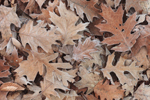 Close Up of Frost on Various Species of Oak Leaves, Quabbin Reservation, New Salem, MA