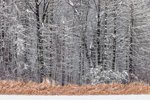 Snow-covered Hardwood Trees at Edge of Meadow after Snowstorm, Suffield, CT