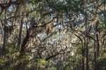 Sunlight Shining through Spanish Moss in Canopy of Live Oak Trees, Harris Neck National Wildlife Refuge, South Newport, GA
