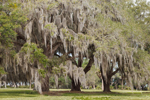 Live Oak Trees Draped in Spanish Moss at Fort Frederica National Monument, St. Simons Isand, GA