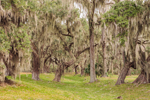 Live Oak Trees Draped in Spanish Moss along Remnants of Moat at Fort Frederica National Monument, St. Simons Isand, GA