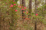 Early Azaleas in Bloom in Woodlands at Wesley Garden, Christ Church Episocal, St. Simons Island, GA