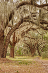 Spanish Moss Draping Branches of Live Oak Trees at Abandoned Dairy Farm, Jekyll Island, GA