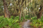 Footpath through Maritime Forest of Live Oak Trees Draped in Spanish Moss with Saw Palmetto Understory, Jekyll Island, GA