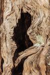 Close Up of Weathered Wood on Hollow Live Oak Tree, Jekyll Island, GA
