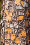 Close Up of Bark Patterns on Slash Pine Tree, Jekyll Island, GA
