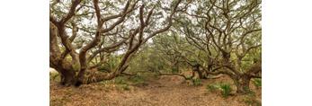 Maritime Coastal Forest of Live Oak Trees, Jekyll Island, GA