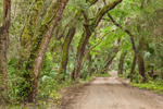 Country Road through Arch of Live Oak Trees and Saw Palmettos, Timucuan Ecological and Historic Preserve, Fort George Island, Jacksonville, FL