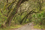 Country Road through Arching Live Oak Trees, Timucuan Ecological and Historic Preserve, Fort George Island, Jacksonville, FL