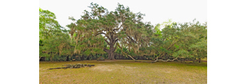 Fairchild Oak (Live Oak Tree between 300-500 years old), Bulow Creek State Park, near Ormand Beach, FL
