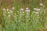 Thistles in Grass near Mahogany Hammock, Everglades National Park, FL