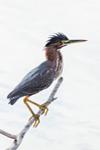 Close Up of Green Heron at Mrazek Pond, Everglades National Park, FL