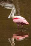 Roseate Spoonbill at Mrazek Pond, Everglades National Park, FL