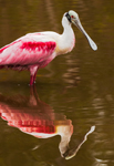 Roseate Spoonbill with Reflection in Mrazek Pond, Everglades National Park, FL