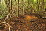 Inner View of Red Mangrove Swamp, Everglades National Park, FL