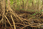 Arching Roots of Red Mangrove Trees in Swamp near Coot Bay Pond, Everglades National Park, FL