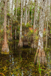 Cardinal Air Plants Growing on Dwarf Cypress Trees near Pa-hay-okee Area, Everglades National Park, FL
