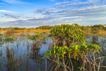 Late Evening Light on Red Mangroves near Paurotis Pond, Everglades National Park, FL