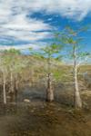 Dwarf Cypress Trees and Sawgrass Prairie at Pa-hay-okee, Everglades National Park, FL