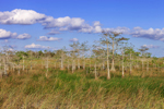 Dwarf Cypress Trees and Sawgrass Prairie at Pa-hay-okee, Everglades National Park, FL