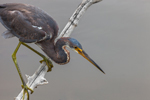Tricolored Heron Perched on Tree Limb over Water at Mrazek Pond, Everglades National Park, FL
