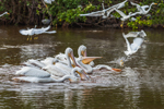 Flock of American White Pelicans Feeding at Mrazek Pond, Everglades National Park, FL