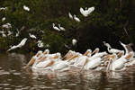 Flock of White Pelicans Feeding in Mrazek Pond, Everglades National Park, FL