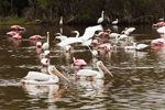White Pelicans, Great Egret, and Roseate Spoonbills in Mrazek Pond, Everglades National Park, FL