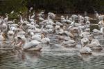 Flock of White Pelicans Feeding in Mrazek Pond, Everglades National Park, FL
