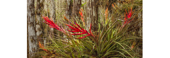 Cardinal Air Plants Growing on Dwarf Cypress Tree in Cypress Dome near Pa-hay-okee Area, Everglades National Park, FL