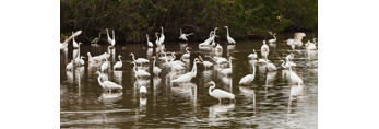 Flock of Great Egrets at Mrazek Pond, Everglades National Park, FL