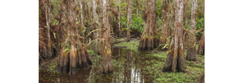 View of Cypress Trees with Buttresses inside Double Dome, near Pa-hay-okee Area, Everglades National Park, FL