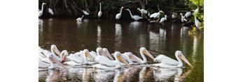 Flock of American White Pelicans at Mrazek Pond, Everglades National Park, FL