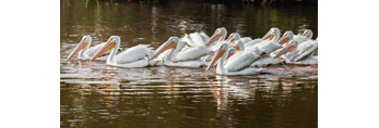 Flock of American White Pelicans at Mrazek Pond, Everglades National Park, FL