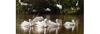 Flock of White Pelicans at Mrazek Pond, Everglades National Park, FL